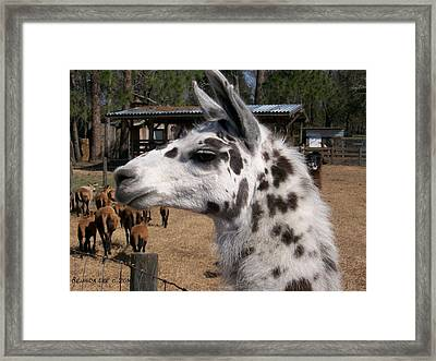 Framed Print featuring the photograph Mad Llama Rules by Belinda Lee