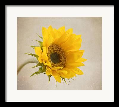 Sunflower Garden Framed Prints