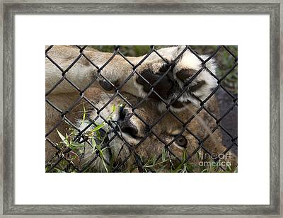 I Want To Go Home - Female African Lion Framed Print