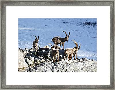 Ibex By A Glacier Framed Print by Science Photo Library