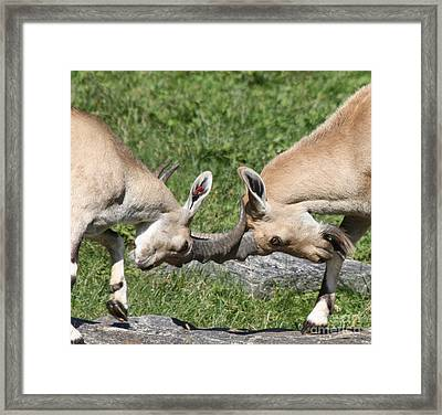 Framed Print featuring the photograph Ibex Doing Battle by John Telfer