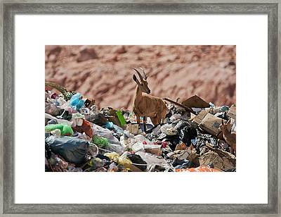 Ibex In City Dump Framed Print by Photostock-israel