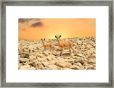 Ibexes And Sunset Framed Print