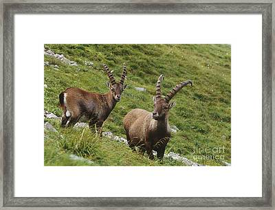 Ibexes Framed Print by Art Wolfe