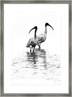 Ibis Framed Print by David Benson
