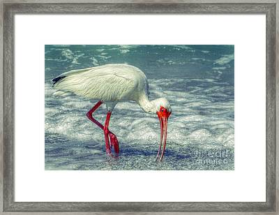 Ibis Feeding Framed Print