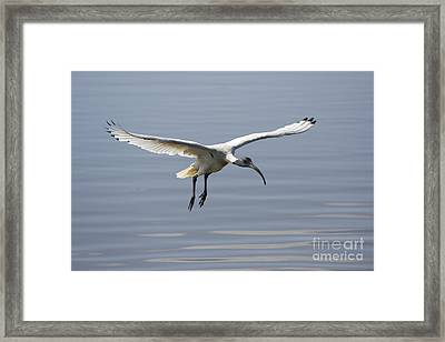Ibis In Flight Framed Print by Craig Dingle