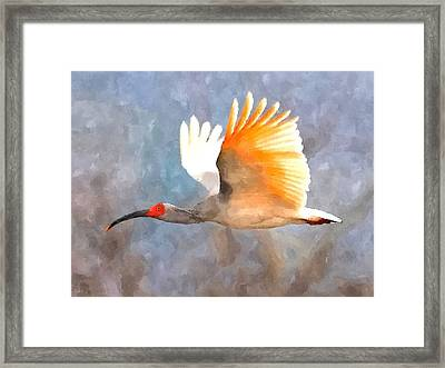 Ibis In Flight Framed Print