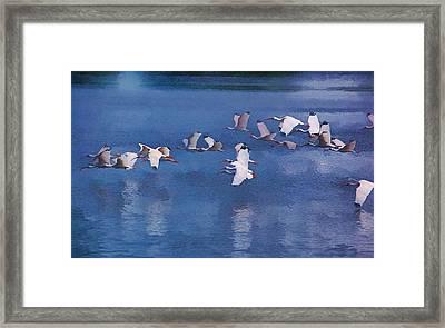 Ibis In Flight Framed Print by Pamela Blizzard