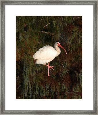 Ibis In The Cypress Framed Print by Jeff Wright