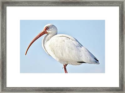 Ibis In The Marsh Framed Print by Paulette Thomas
