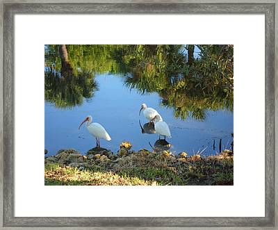 Ibis In Three Framed Print