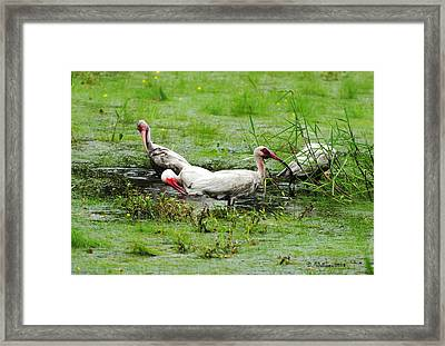 Ibis In Willow Pond Framed Print