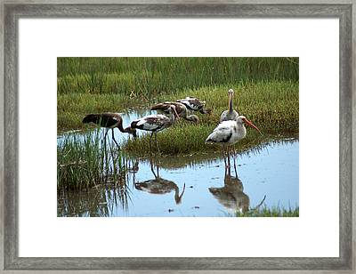 Ibis Framed Print by Kim Pate