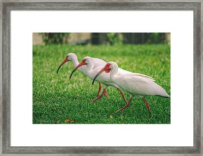 Ibis Lawn Service Framed Print