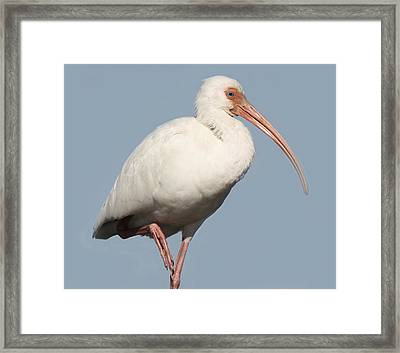 Ibis Up Close Framed Print by Paulette Thomas