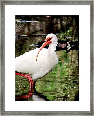 Ibis Framed Print by Will Boutin Photos