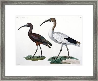 Ibises Framed Print by Jules Cesar Savigny