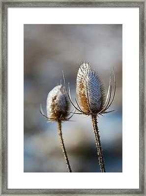 Ice-coated Teasel Framed Print by Jim West