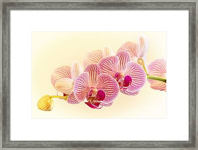 Ice Cube Orchid Framed Print