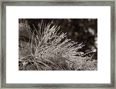 Ice On Pine Framed Print