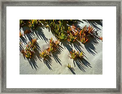 Ice Plant In Sand Framed Print