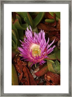 Ice Plant San Diego Framed Print