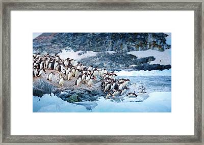 Ice Swimmers Framed Print by David Merron Photography