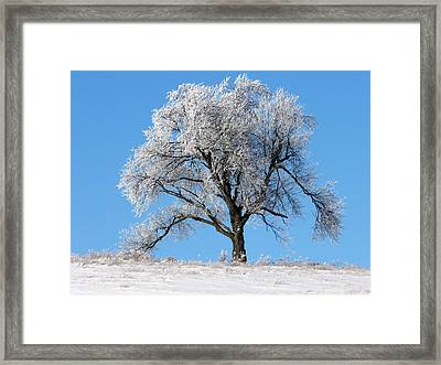 Iced Maple Framed Print