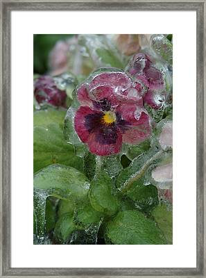 Iced Purple Pansy Framed Print