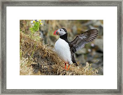 Iceland Close-up Of Puffin Flapping Framed Print by Jaynes Gallery