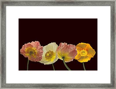 Iceland Poppies On Black Framed Print