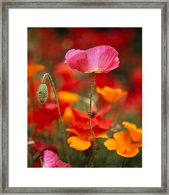 Iceland Poppies Papaver Nudicaule Framed Print by Panoramic Images