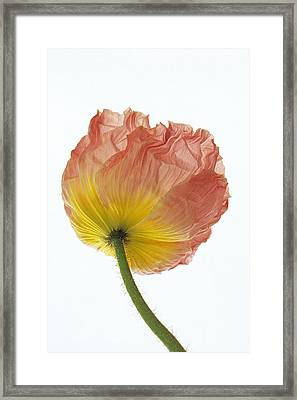 Framed Print featuring the photograph Iceland Poppy 1 by Susan Rovira