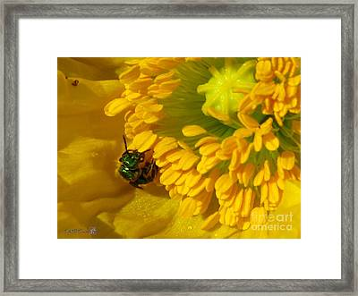 Framed Print featuring the photograph Iceland Poppy Pollination by J McCombie