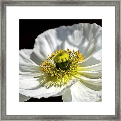 Iceland White Poppy Framed Print by Julie Palencia