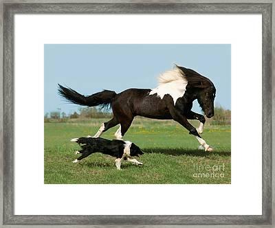 Icelandic Horse And Dog Framed Print