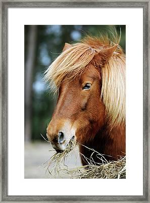 Icelandic Horse Framed Print by Bildagentur-online/mcphoto-schulz