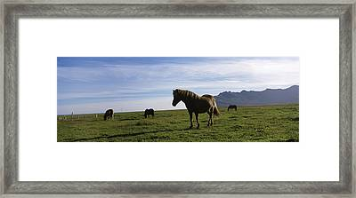 Icelandic Horses In A Field, Svinafell Framed Print by Panoramic Images
