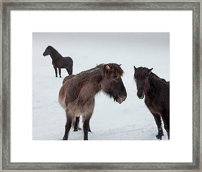 Icelandic Horses With Winter Coats Framed Print by Panoramic Images