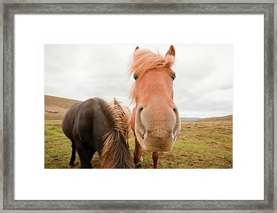 Icelandic Ponies Near Dalvik Framed Print