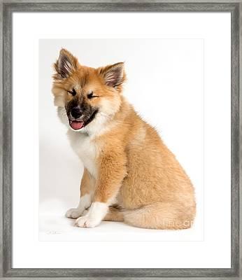 Icelandic Sheepdog Puppy Squinting Framed Print by Iris Richardson
