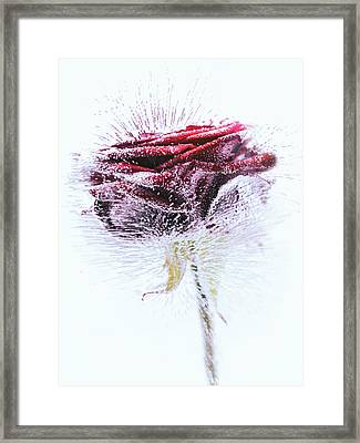 Icerose Framed Print