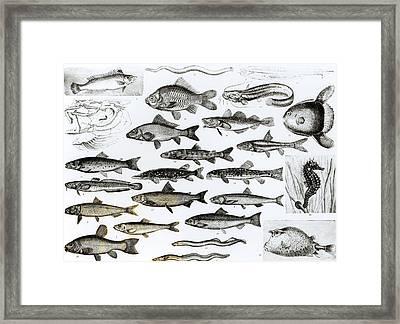Ichthyology Framed Print