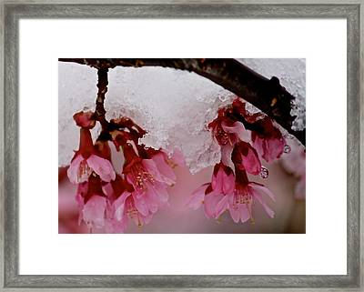 Icy Cherry Blossoms Framed Print