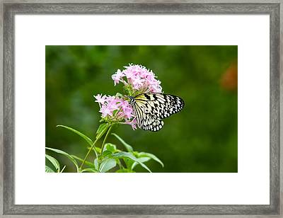 Idea Leuconoe Framed Print