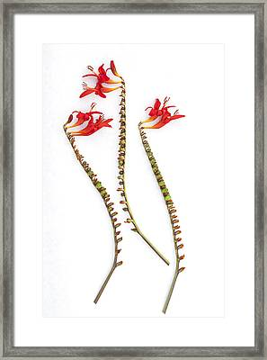 If Seahorses Were Flowers Framed Print by Carol Leigh