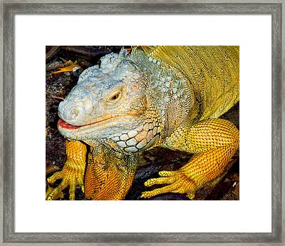 Iggy Framed Print by Carey Chen