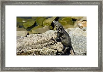 Iguana Framed Print by Aged Pixel