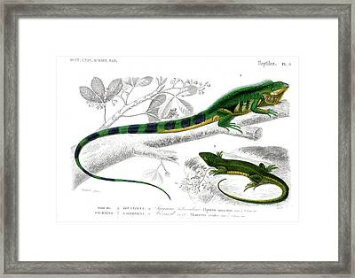 Iguana And Green Lizard Framed Print by Collection Abecasis